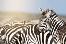 Zebra Herd In Sunlight In The ...