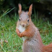 Eichhörnchen, Sciurus Vulgari...