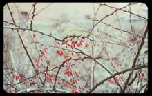 Red Rose Hip On Bare Thorny Branch