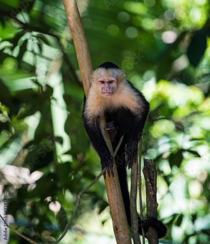 Photo Capuchin monkey