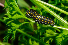 Swallowtail Butterfly Caterpil...