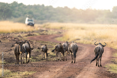 Wildebeest and safari vehicle on a road in the Masai mara Canvas Print