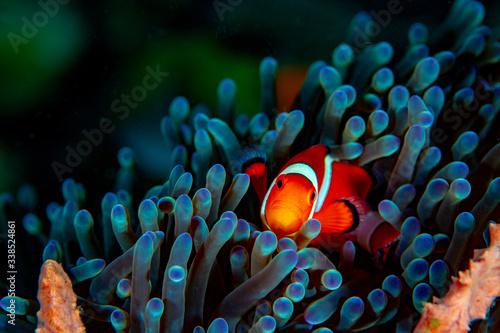 Carta da parati clown fish on coral reef