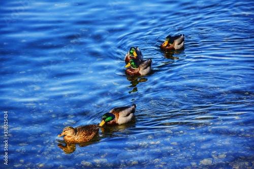 High Angle View Of Mallard Ducks Swimming On Lake Wallpaper Mural