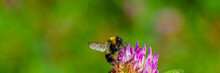 Bumblebee Collects Pollen And ...