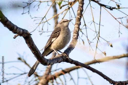 Cuadros en Lienzo Mockingbird On Tree Branch
