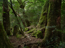 Yakushima, Ancient Forest, Ced...