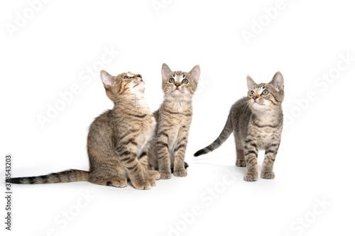 Three tabby kittens on white Canvas Print