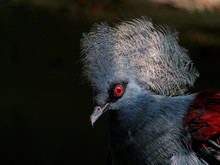 The Western Crowned Pigeon, Goura Cristata, Also Known As The Common Crowned Pigeon Or Blue Crowned Pigeon.