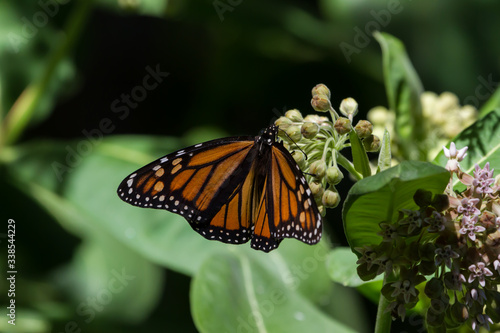 Photo Monarch Butterfly laying eggs on a common milkweed plant.