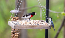 A Rose Breasted Grosbeak And A...