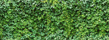 green ivy leaves wall background. nature texture plants