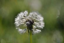 Head Of A Milkweed