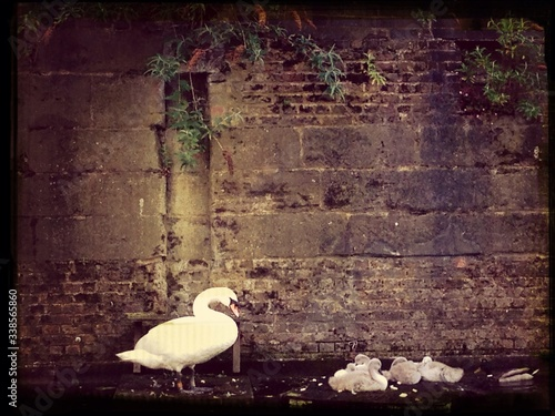 Fotografiet Swan With Chicks