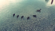 Ducklings And Duck Swimming In...