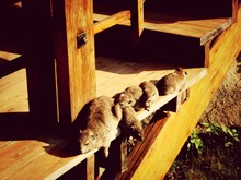 High Angle View Of Dassie Rat With Young Once Resting On Wooden Steps