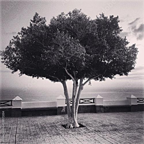 Fototapeta Single Tree On Promenade
