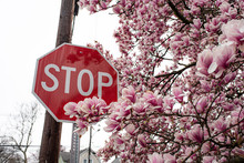 Stop Sign And Blooming Magnolia Tree