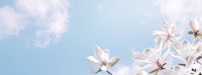 Očaravajuće cvjetajuće bijele magnolije cvijeće na nebu oblaka. Fantazijska proljetna pozadina.