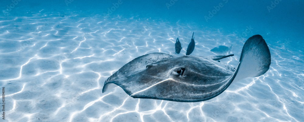 Fototapeta Stingray swimming in Moorea's lagoon