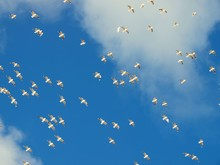 Low Angle View Of Seagulls Flying Against Blue Sky And Clouds