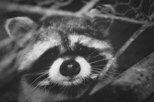Close-up Portrait Of Red Panda In Forest