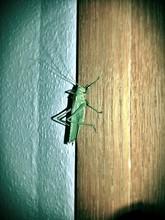 Grasshopper On A Wall