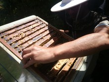 Beekeeper Maintaining Artificial Beehive