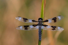 Dragonfly Sitting On Reed