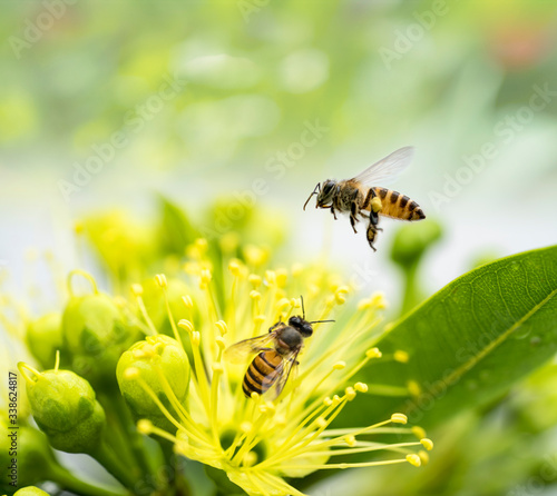 Flying honey bee collecting pollen at yellow flower Wallpaper Mural