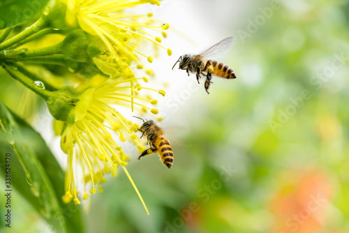 Fotomural Flying honey bee collecting pollen at yellow flower