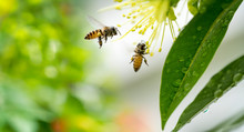 Flying Honey Bee Collecting Po...