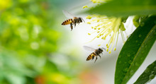 Flying Honey Bee Collecting Pollen At Yellow Flower. Bee Flying Over The Yellow Flower