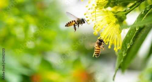 Foto Flying honey bee collecting pollen at yellow flower