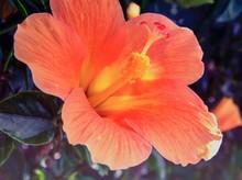 Close-up Of Orange Hibiscus Blooming In Field