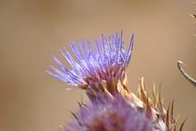 Close Up Of Purple Wildflower