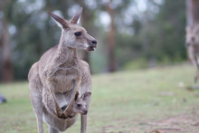 Kangaroo With Baby In Pouch On...