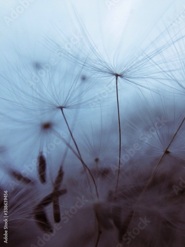 Fototapety, obrazy: Close-up Of Dandelion Seeds