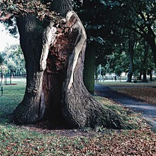 Old Tree With Hole In Park