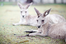Close-up Of Kangaroos Relaxing On Field