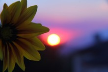 Close-up Of Yellow Gazania Flower Blooming Against Sky During Sunset