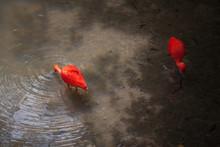 Flamingos Drinking Water