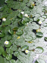 High Angle View Of Water Lilies With Lily Pads In Pond