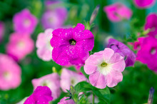Pink Petunias With Water Drops
