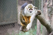 Spider Monkey On Branch Tree In Cage At Zoo