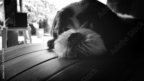 Valokuva Close-up Portrait Of Shih Tzu Relaxing At Home