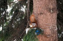 Hokkaido Squirrel Eating A Wla...