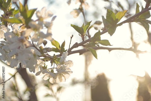 Papel de parede Branch of a blossoming  cherry tree