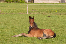 Brown Foal Resting In The Past...