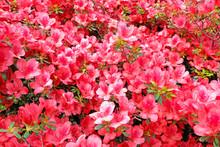 Pink Azalea Blosom Flowers Background.